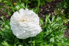 Mooie mooie witte Ranunculus of de Boterbloem bloeien bij Honderdjarig Park, Sydney, Australië royalty-vrije stock foto's