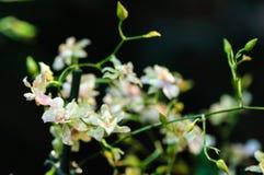 Mooie witte roze wilde kleine orchideebrunch op de achtergrond van de onduidelijk beeldtuin Royalty-vrije Stock Foto