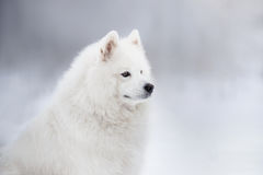 Mooie witte Samoyed-hond Royalty-vrije Stock Foto