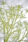 Mooie witte snijbloemen in vaas royalty-vrije stock foto