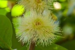 Mooie Witte syzygie malaccense bloem stock afbeelding