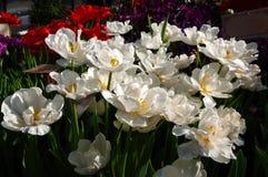 Mooie witte tulpen Royalty-vrije Stock Afbeeldingen