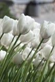 Mooie witte tulpen Stock Foto's