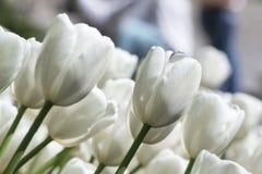 Mooie witte tulpen Royalty-vrije Stock Afbeelding