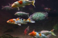 Mooie witte vissen met oranje vlekken onder water royalty-vrije stock foto