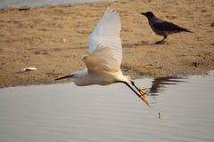 Mooie witte vogel die over de kust vliegen Royalty-vrije Stock Foto