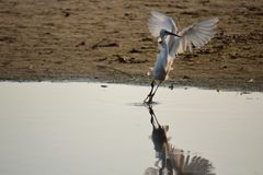 Mooie witte vogel die weg vliegen Stock Fotografie