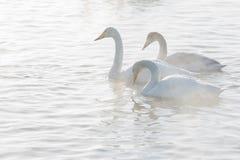 Mooie witte whooping zwanen Royalty-vrije Stock Afbeelding
