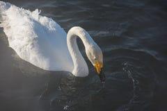 Mooie witte whooping zwanen Royalty-vrije Stock Foto's