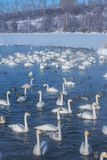 Mooie witte whooping zwanen Royalty-vrije Stock Afbeeldingen