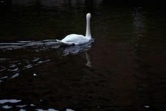 Mooie witte zwaan Royalty-vrije Stock Afbeeldingen