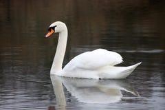 Mooie witte zwaan die op het meer drijven Stock Afbeelding