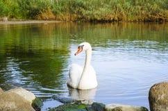 Mooie witte zwaan op Baltische baai Zonnige dag stock afbeelding
