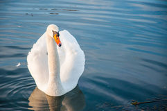 Mooie witte zwaan op water sufrace Stock Fotografie