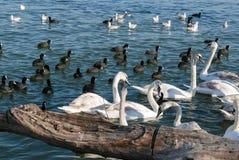 Mooie witte zwaantroep die in de rivier in Belgrado zwemmen Stock Fotografie