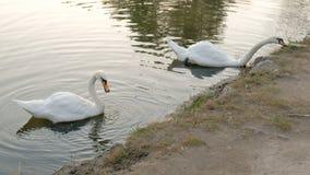 Mooie witte zwanen met rode bek die in meer zwemmen Het wilde dier eet gras en drinkt schoon water stock footage