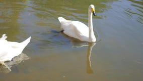 Mooie witte zwanen op het meer stock videobeelden