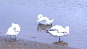 Mooie, witte zwanen op het meer stock videobeelden