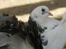 Mooie witte zwarte duif in de dierentuintuin royalty-vrije stock fotografie