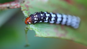 Mooie worm die van vlinder blad eten Stock Foto