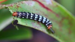 Mooie worm die van vlinder blad eten Royalty-vrije Stock Fotografie