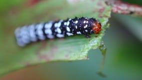 Mooie worm die van vlinder blad eten Royalty-vrije Stock Afbeelding