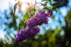Mooie zacht lilac bloemen bij de heldere zonnige dag stock foto's