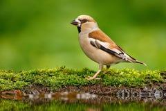 Mooie zangvogel, Hawfinch, in waterspiegel, bruine zangvogelzitting in het water, de aardige tak van de korstmosboom, vogel in de stock fotografie