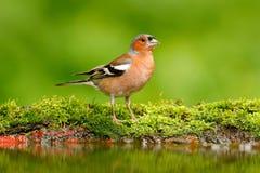 Mooie zangvogel, Vink, Fringilla coelebs, in waterspiegel, bruine zangvogelzitting in het water, de aardige tak van de korstmosbo stock foto
