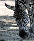 Mooie zebra bij het dierentuinpark Lignano Sabbiadoro Italië Royalty-vrije Stock Afbeelding