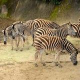 Mooie Zebras Stock Foto's