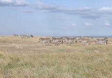 Mooie zebras in het mooie de Milieubeschermingslandschap van Ol Pejeta, Kenia Stock Foto