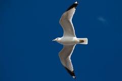 Mooie zeemeeuw die op de hemel vliegt Stock Afbeeldingen