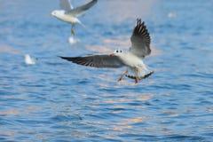 Mooie zeemeeuw die over het water hangt Royalty-vrije Stock Foto