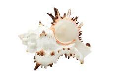 Mooie zeeschelp die over wit wordt geïsoleerdn Stock Foto