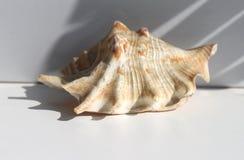 Mooie zeeschelp met mooie schaduw op witte achtergrond royalty-vrije stock fotografie