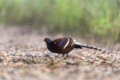 Mooie zeldzame vogeltribune op aardachtergrond Stock Fotografie