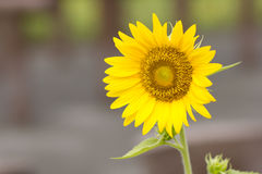 Mooie zonbloem stock foto
