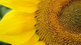 Mooie zonbloem in het windclose-up stock video