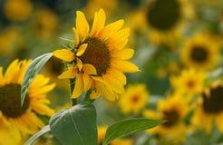 Mooie zonbloemen Royalty-vrije Stock Foto