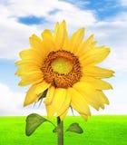 Mooie zonnebloem Stock Afbeelding