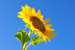 Mooie zonnebloem Stock Foto