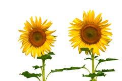 Mooie zonnebloem Royalty-vrije Stock Afbeeldingen