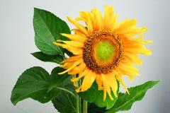 Mooie zonnebloem stock foto's