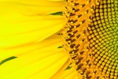Mooie zonnebloem abstracte achtergrond Royalty-vrije Stock Afbeelding