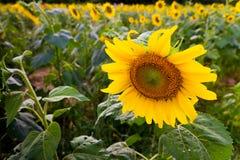 Mooie zonnebloem in de tuin stock afbeelding