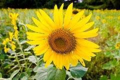Mooie zonnebloem in de tuin royalty-vrije stock foto