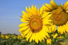 Mooie zonnebloem in de tuin Royalty-vrije Stock Afbeeldingen