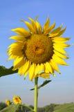 Mooie zonnebloem in de tuin Stock Foto's