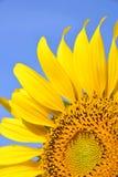 Mooie zonnebloem in de tuin Royalty-vrije Stock Fotografie